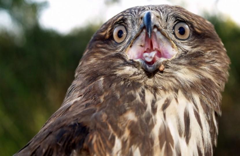 GNR recolhe águia de asa redonda encontrada na Lourinhã