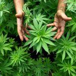 GNR faz buscas em operação contra o tráfico de droga na zona de Torres Vedras