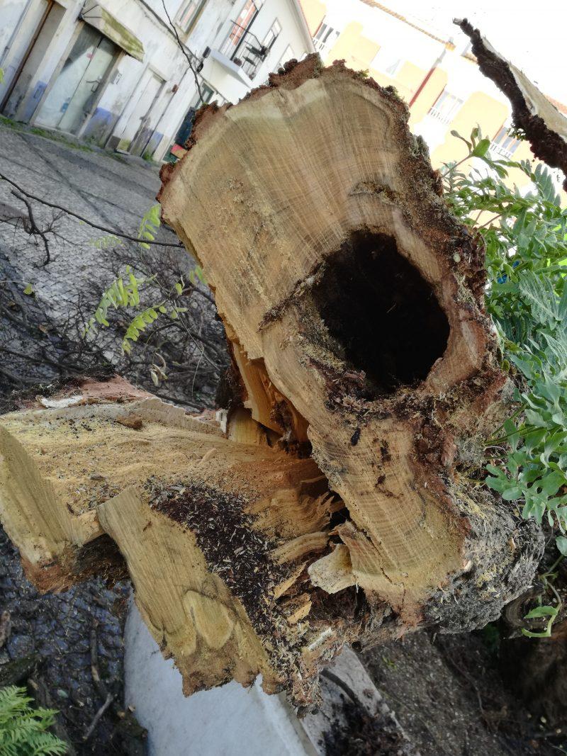 árvore removida da Praça Machado Santos