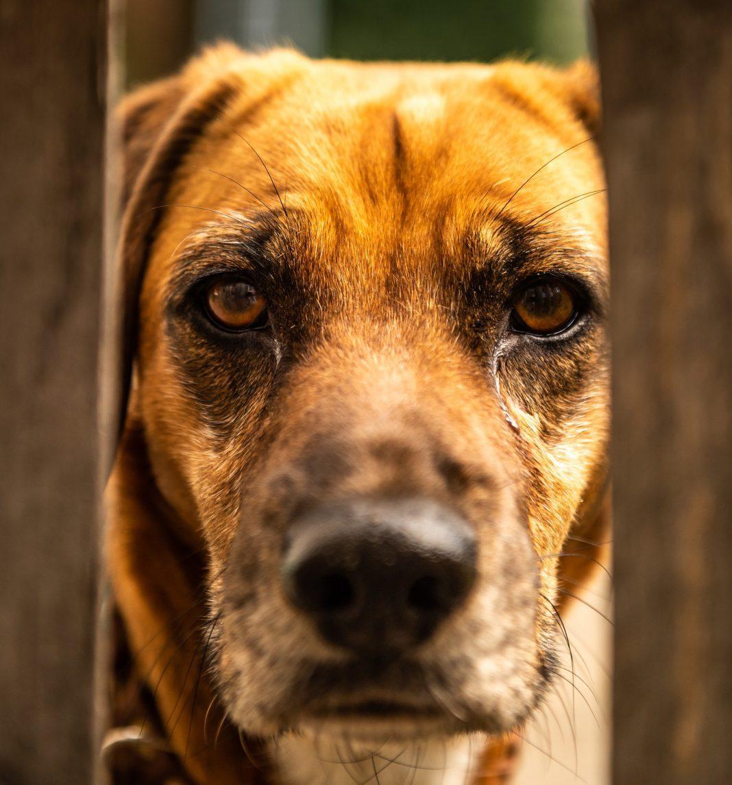 Sabia que cães com mais de três meses são obrigados a ter vacina antirrábica válida?