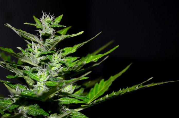 Homem detido no Varatojo enquanto transportava uma planta de cannabis
