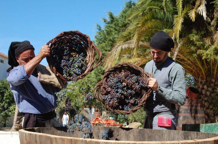 """""""Cidade Europeia do Vinho 2018"""": vindima tradicional na Quinta da Portucheira"""