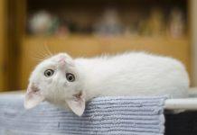 """""""Gatos"""" em exibição amanhã no Teatro-Cine"""