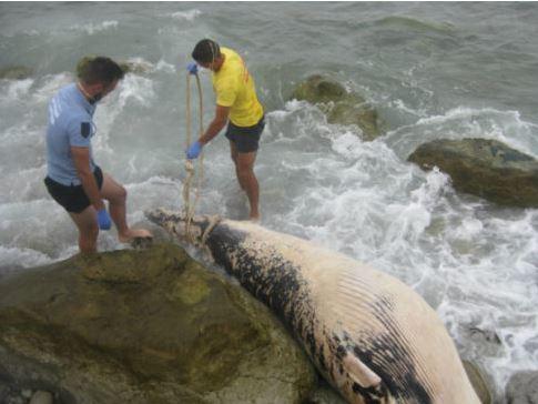 Baleia morta encontrada na Praia de Cambelas
