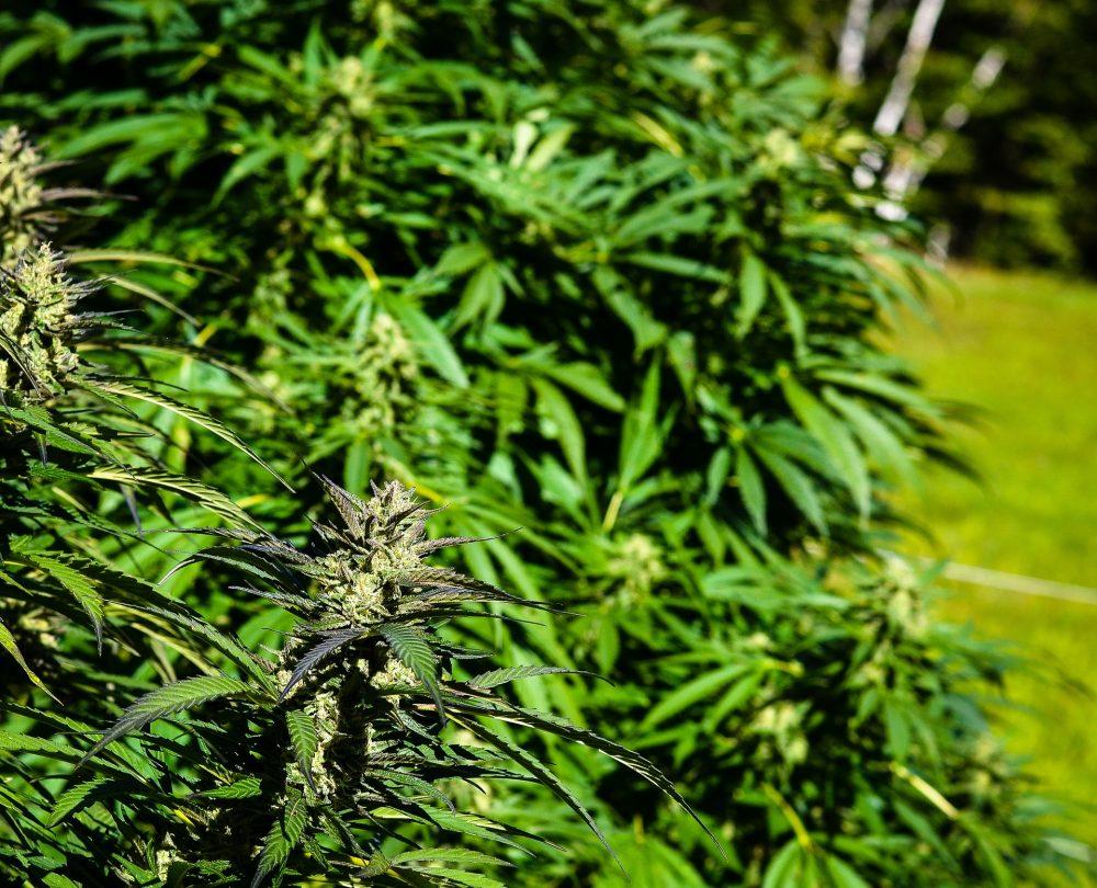 GNR encontrou plantação de cannabis em habitação na freguesia A-dos-Cunhados