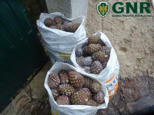 CALDAS DA RAINHA: GNR aprende 80 quilos de pinhas