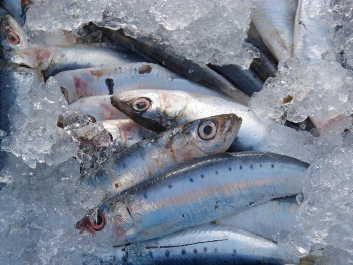 Investigadores dizem que 'stock' de sardinha está a aumentar nas águas ibéricas