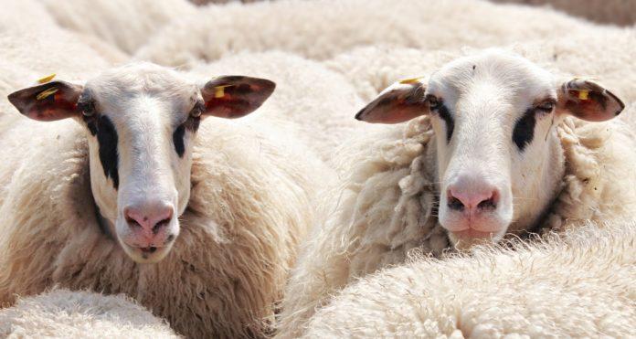 Onze animais apreendidos por brucelose em Torres Vedras