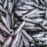 Peniche quer aumento das capturas de sardinha para este ano