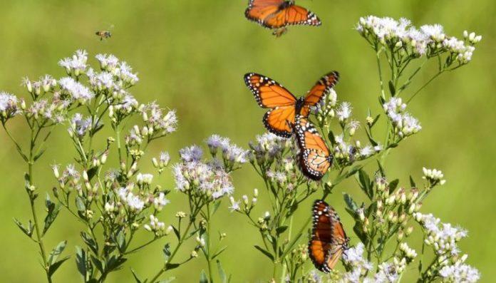 TORRES VEDRAS: Centro Interpretativo leva visitantes a capturar e identificar borboletas