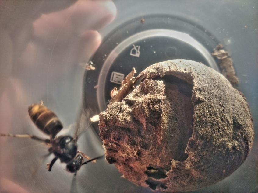 Ninhos primários de vespas asiáticas voltam a ser avistados no concelho de Torres Vedras