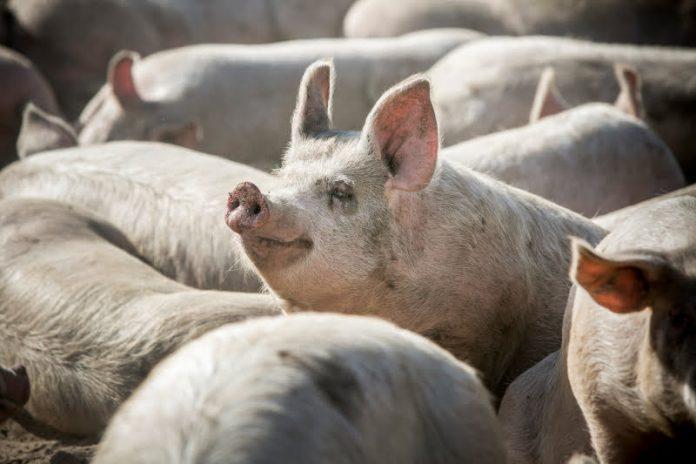 Suiniculturas multadas por descargas ilegais no rio Sizandro em Torres Vedras